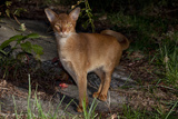 Abyssinian Cat Outdoors in Sunshine  Colchester  Connecticut