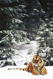 Tiger Lying in Snow During Snow Storm in Spruce Forest (Captive Animal)