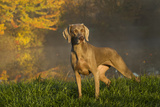 Weimaraner at Edge of Pond with Autumn Leaf Reflections in Early Morning Fog  Colchester