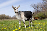 Alpine (Dairy Greed) Goat Doe Standing in Meadow  East Troy  Wisconsin  USA