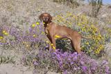 Older Vizsla Standing Amid Purple Desert Verbena and Yellow Composites