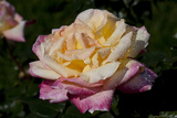 Tea Rose in Bloom  Santa Barbara  California  USA
