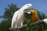 Salmon-Crested Cockatoo (L) and Blue and Gold Macaw (R)  Captive  Mutual Grooming