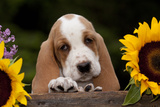 Basset Hound Pup with Sunflowers in Antique Wooden Box  Marengo  Illinois  USA