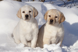 Yellow Labrador Retriever Puppies Sitting in Snow  St Charles  Illinois  USA
