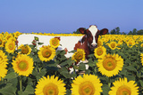 Ayrshire Cow Standing in Field of Sunflowers  Pecatonica  Illinois  USA