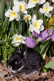 Netherland Dwarf Rabbit (Domestic Breed) in Spring Daffodils