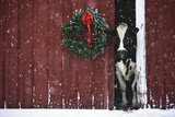 Holstein Cow Standing in Doorway of Red Barn  Christmas Wreath on Barn  Marengo