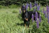 Portrait of Black Doberman Pinscher Male in Lupine  St Charles  Illinois  USA