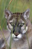 Florida Panther (Felis Concolor) in Sawgrass  South Florida  USA