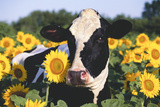 Portrait of Holstein Cow Standing in Sunflowers  Pecatonica  Illinois  USA