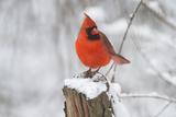 Northern Cardinal (Cardinalis Cardinalis) Male in Winter  St Charles  Illinois  USA