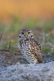 Burrowing Owl (Athene Cunicularia) at Burrow in Sandy Soil