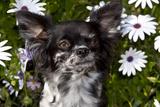Long-Haired Chihuahua Among Daisies  Southern California  USA