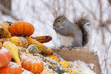 Gray Squirrel in Mid-Winter Feeding on Corn Kernels Among Gourds  St Charles  Illinois  USA