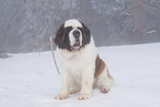 Saint Bernard Sitting in Snow in Fog  Mountains of Southern California  USA