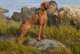 Vizsla Standing in Marine Grass at Beach  Madison  Connecticut  USA