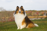 Shetland Sheepdog(S) in Autumn  Waterford  Connecticut  USA