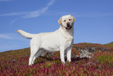 Yellow Labrador Retriever Standing in Glasswort  Monterey Peninsula  California  USA