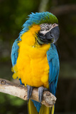 Blue and Gold Macaw (Ara Ararauna) Captive  R- Panama and South Venezuela