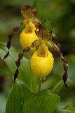 Large Yellow Lady'-Slipper (Cypripedium Calceolus)  Native North American Orchid  Northern Illinois
