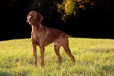 Vizsla in Late Afternoon  Back-Lit  on Grassy Plain  Guilford  Connecticut  USA
