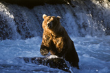 Brown Bear (Ursus Arctos Middendorfii)