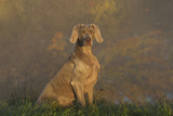 Weimaraner Sitting in Grass by Pond and Autumn Reflections on Foggy Morning  Killingworth