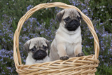 Pug Pups in Wicker Basket  Santa Ynez  California  USA