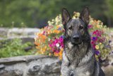 German Shepherd Dog in Late Spring Flowers  Garden  Woodstock  Connecticut  USA