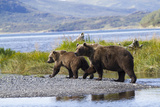 Mother Grizzly and Her Two-Year Old Hustle onto a Gravel Bar in an Olga Bay Stream  Kodiak I