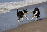 Pair of Border Collies in Tug-Of-War with Stick Along the Seashore  Santa Barbara