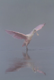 Pretty in Pink - Immature Roseate Spoonbill (Platalea Ajaja) Stretches Wings
