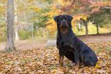 Rottweiler in Autumn  E Haddam  Connecticut  USA