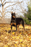 Doberman Pincher (Female) Standing in Yellow Maple Leaves  St Charles  Illinois  USA