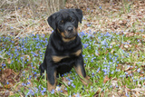 Rottweiler Pup in Blue Flowers  Waterford  Connecticut  USA