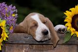 Basset Hound Pup Asleep in Antique Wooden Egg-Holding Box  Marengo  Illinois  USA