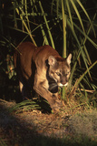 Florida Panther (Felis Concolor) Walking in Pine-Palmetto Forest  South Florida  USA