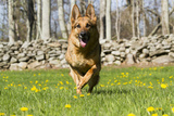 German Shepherd Dog Running in Meadow of Dandelions with Stone Fence in Background