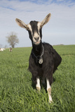 Alpine Goat (Dairy Breed)  Poplar Grove  Illinois  USA