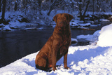 Chesapeake Bay Retriever on Snow at Edge of Stream in Late Afternoon Light  St Charles