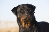 Rottweiler Portrait on Winter Beach  Guilford  Connecticut  USA