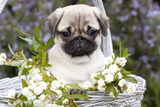 Pug Pup and White Flowers in Silver-Gray Wicker Basket  Santa Ynez  California  USA