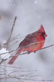 Northern Cardinal (Cardinalis Cardinalis) Male with Sunflower Seed