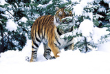 Male Tiger Peering Through Snow-Covered Spruce Trees (Captive Animal)