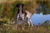 Portrait of German Shorthair Pointer Standing Next to Pond of Fall Reflection  Canterbury