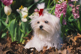 Maltese Dog with Red Ribbon in Spring Flowers  El Paso  Illinois  USA