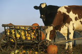 Holstein Cows Being Curious around Wooden Wagon and its Load of Gourds  Starks  Illinois  USA