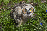 Great Horned Owl (Bubo Virginianus) Just Fledged Youngster