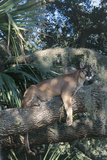 Florida Panther (Felis Concolor) on Oak Branch in Woodland Hammock  South Florida  USA